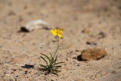 一朵微小的黄色花努力在沙漠生存 库存图片