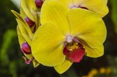 一朵快活的兰花的花 库存照片