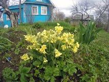 一朵报春花(樱草属macrocalyx邦奇)的布什在木农村房子前 免版税库存照片