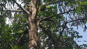 一朵新的Kitul花来自kithul棕榈糖树 图库摄影