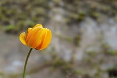 一朵新鲜的橙色郁金香花在夏天白天室外公园 免版税库存照片