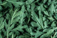 一朵新鲜的绿色菊花离开desi的纹理背景 免版税库存图片