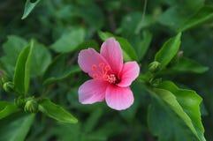 一朵早期的成长桃红色花 图库摄影