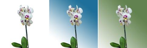 一朵明亮的兰花花 库存图片