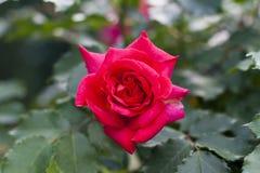 一朵明亮的桃红色玫瑰的特写镜头与叶子的在背景 免版税库存照片