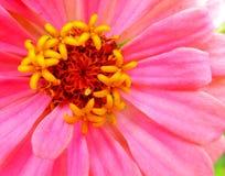 一朵明亮的桃红色百日菊属大丽花花的特写镜头 免版税库存图片