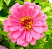 一朵明亮的桃红色百日菊属花的特写镜头视图 免版税库存图片