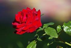 一朵明亮的猩红色玫瑰的大被张开的芽在庭院里 库存图片