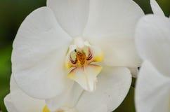 一朵明亮的白色兰花在一个热带庭院里 免版税图库摄影