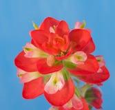 一朵明亮的红色印度画笔花的特写镜头 库存图片