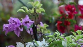 一朵明亮的红色和淡紫色花的特写镜头在户外亚洲公园 巴厘岛印度尼西亚 美好的五颜六色的背景 股票视频
