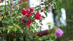 一朵明亮的红色和淡紫色花的特写镜头在户外亚洲公园 巴厘岛印度尼西亚 美好的五颜六色的背景 股票录像