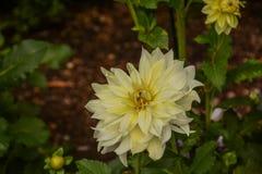 一朵明亮的黄色大丽花在庭院里 库存图片