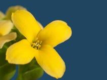 一朵明亮的黄色火焰状Katy花的宏观图象 免版税库存照片