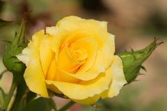 一朵明亮的黄色玫瑰的特写镜头 免版税库存照片