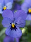一朵有角的紫罗兰的淡紫色开花的特写镜头,中提琴 库存图片