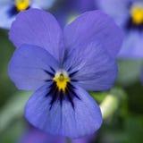 一朵有角的紫罗兰的淡紫色开花的特写镜头,中提琴 免版税图库摄影