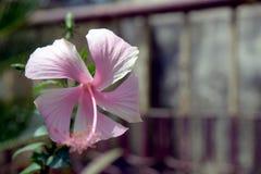 一朵木槿花在庭院背景中 库存图片