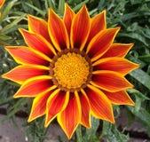 一朵杂色菊属植物花在桔子树荫下  免版税库存照片