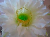 一朵极端美丽的白色仙人掌花 库存图片