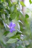 一朵柔和的蓝色花 库存照片