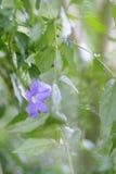 一朵柔和的蓝色花 免版税库存图片