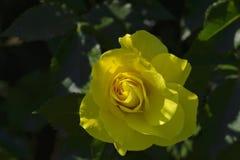 一朵柔和的黄色玫瑰花溶化瓣 图库摄影