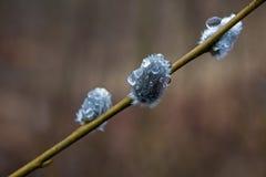 一朵柔荑花的特写镜头与雨珠的 库存图片