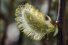 一朵柔荑花的特写镜头在杨柳的 免版税库存图片