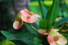 一朵桃子和桃红色花在一个美丽的热带庭院里 免版税库存图片
