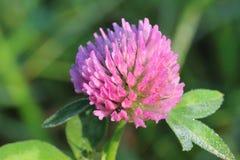 一朵桃红色三叶草花的宏指令 库存照片