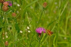 一朵桃红色三叶草花的橙色大船长在高绿草,特写镜头 免版税库存照片