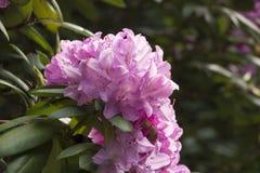 一朵桃红色八仙花属花的特写镜头在盛开的 免版税库存图片