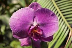 一朵桃红色兰花的一朵花与橙色和白色斑点的在瓣,特写镜头 免版税库存照片