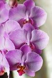 一朵桃红色兰花的大花在白色背景的 免版税库存照片