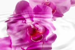 一朵桃红色兰花的水波纹 免版税库存图片