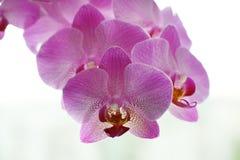 一朵桃红色兰花的美丽的花在白色背景的 免版税库存图片