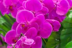 一朵桃红色兰花的花分支  图库摄影