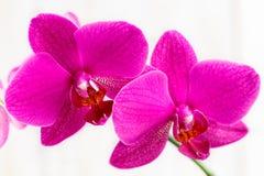 一朵桃红色兰花的花 免版税库存照片