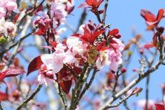 一朵桃红色和红色花 免版税库存照片