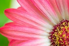 一朵桃红色大丁草花的宏观细节 库存图片