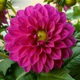 一朵桃红色大丽花的开花的头状花序 图库摄影