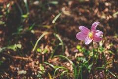 一朵桃红色小花在森林里 库存照片