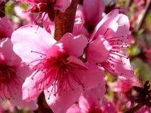 一朵桃红色开花的花在春天 图库摄影