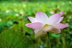 一朵桃红色开花的莲花在池塘 库存图片