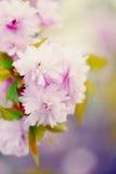 一朵桃红色樱花的软性 库存图片