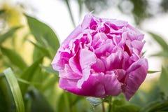 一朵桃红色牡丹花的特写镜头在庭院里 免版税图库摄影