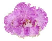 一朵桃红色特里紫罗兰色唯一花的宏观纹理 免版税库存照片