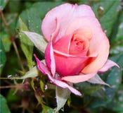 一朵桃红色玫瑰的特写镜头开了花攻击由寄生生物,虫,从事园艺 免版税库存图片