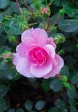一朵桃红色玫瑰的花在一个分支的在庭院里 免版税库存图片